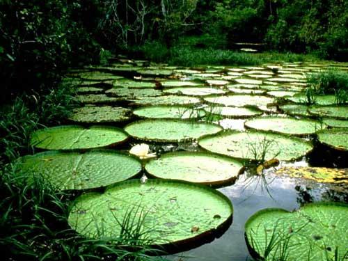 Iquitos, Ceiba Tops #13883